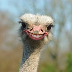 Der grinsende Strauß. Foto: Andreas Depping