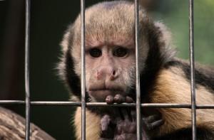 In Bochum wird an Makaken geforscht. Sie sind dem Menschen sehr ähnlich. Foto: Joachim Reisig/ pixelio