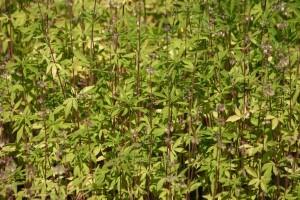 Der Anbau von Cannabis-Pflanzen ist in Deutschland verboten – unabhängig davon, ob sie zum Berauschen oder für medizinische Zwecke genutzt werden sollen. Foto: Streinbrich/pixelio.de