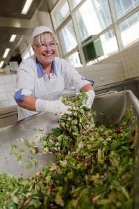 Salatproduktion in größeren Dimensionen.