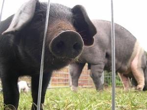 Auch Schweine müssen unterhalten werden. Foto: hennerm auf flickr.com