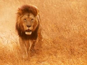 Die Rolle des Stiefvaters kommt für den Löwen nicht in Frage. Foto: sxc.hu/ jivemm