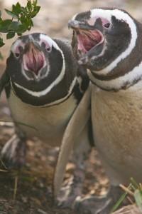 <br /><br /> Traute Zweisamkeit genießen auch die schwulen Pinguine und suchen sich einen festen Partner fürs Leben. Foto: Danielle Pereira/ flickr.com
