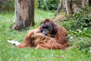 Orang-Utan Walter lebt im Dortmunder Zoo. Seinen Artgenossen in Südostasien hilft die aktuelle Kampagne der EAZA. Foto: Zoo Dortmund