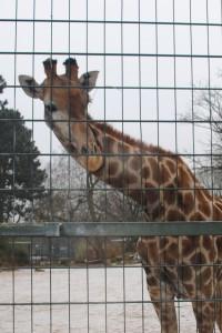 Für Giraffen ist gefrorener Boden eine echte Gefahr.