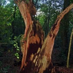Blitze sind nicht ungefährlich: So kann ein Baum nach einem Blitzeinschlag aussehen. Foto: pixelio.de/Dorothea Jacob