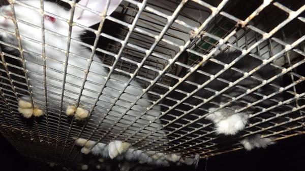 Foto eines verletzten Kaninchens in einem engen Gitterkäfig.