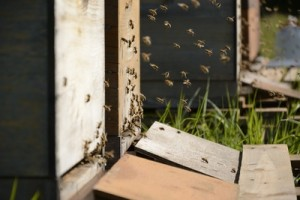 Über 700.000 Bienenvölker gibt es in Deutschland - doch die Zahl sinkt. Foto: Christoph Aron  / pixelio.de - Teaserbild: kai Stachowiak  / pixelio.de