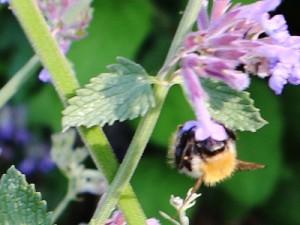 Die Biene ist Voraussetzung für ein funktionierendes Ökosystem Foto: Nanna Zimmermann