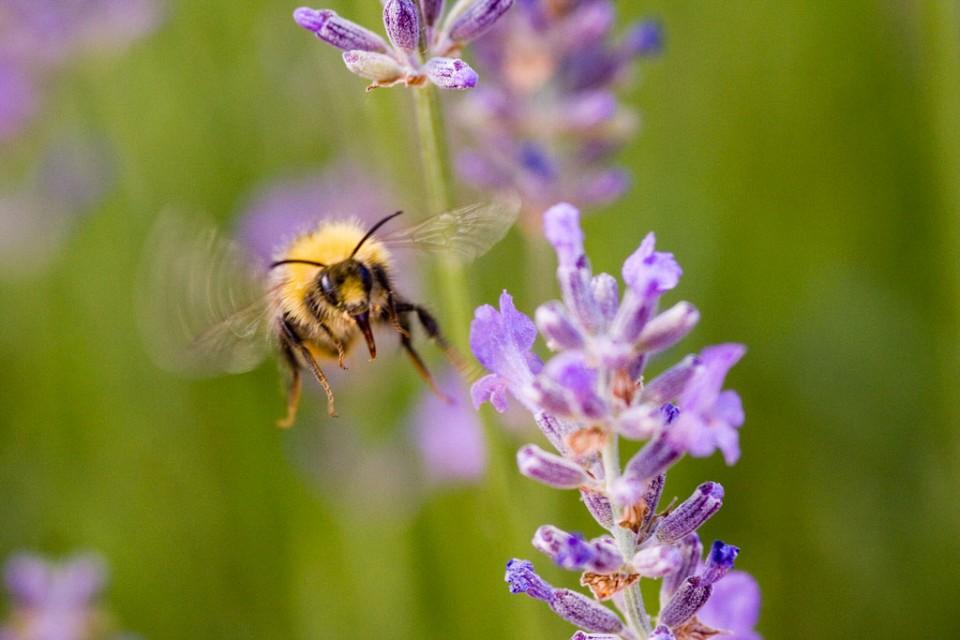 Eine Hummel fliegt vor einer Blüte.