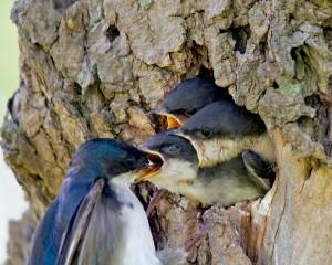 Eine Schwalbe füttert ihre drei kleinen Jungtiere an einem Baum.