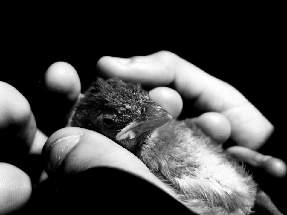 Ein Vogelbaby liegt auf der Handfläche eines Menschen.