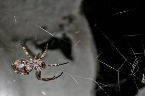 Wissenswert: Sind Spinnen ein Indiz für gutes Raumklima?
