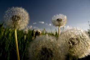 Niesen, schniefen, rote Augen: Pollen-Allergiker haben es gerade schwer.