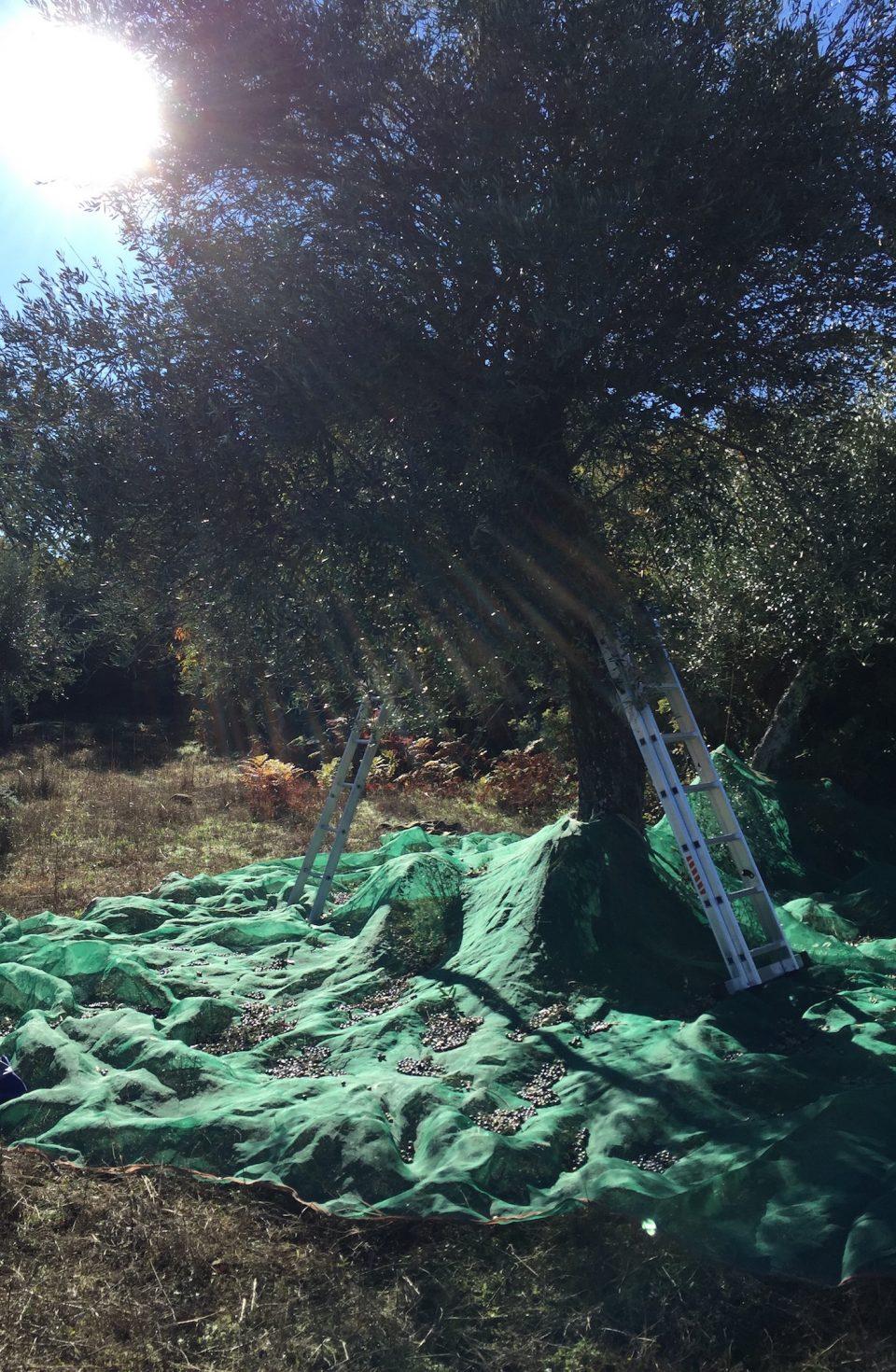 2016_12 olivenernte-1