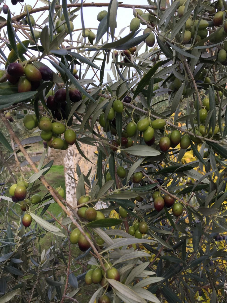 2016_12 olivenernte-3