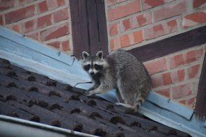 Wilde Tiere erobern die Stadt